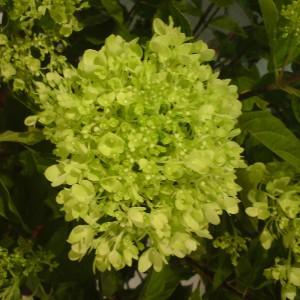 гортензия Hydrangea paniculata 'Jane'