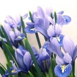 Весна в белоснежно-синих цветах…