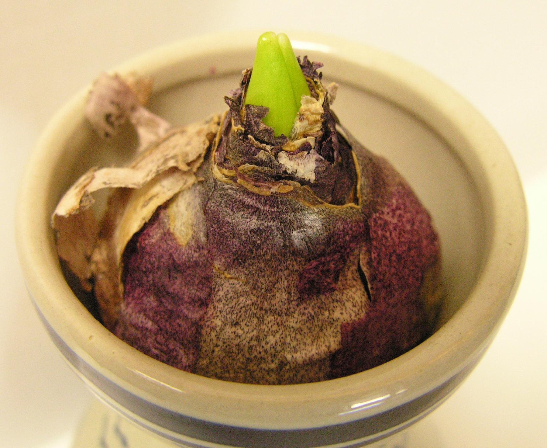 Цветы гиацинты: посадка и уход, фото, выращивание, хранение после цветения