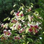 ОТ лилии гибриды: 6 уникальных сортов для вашего сада…