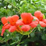 Кампсис – неприхотливая лиана для вашего сада…