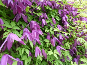Clematis_alpina_'Tage_Lundell'