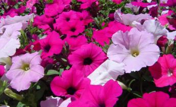 Петунии: Как добиться пышного цветения?