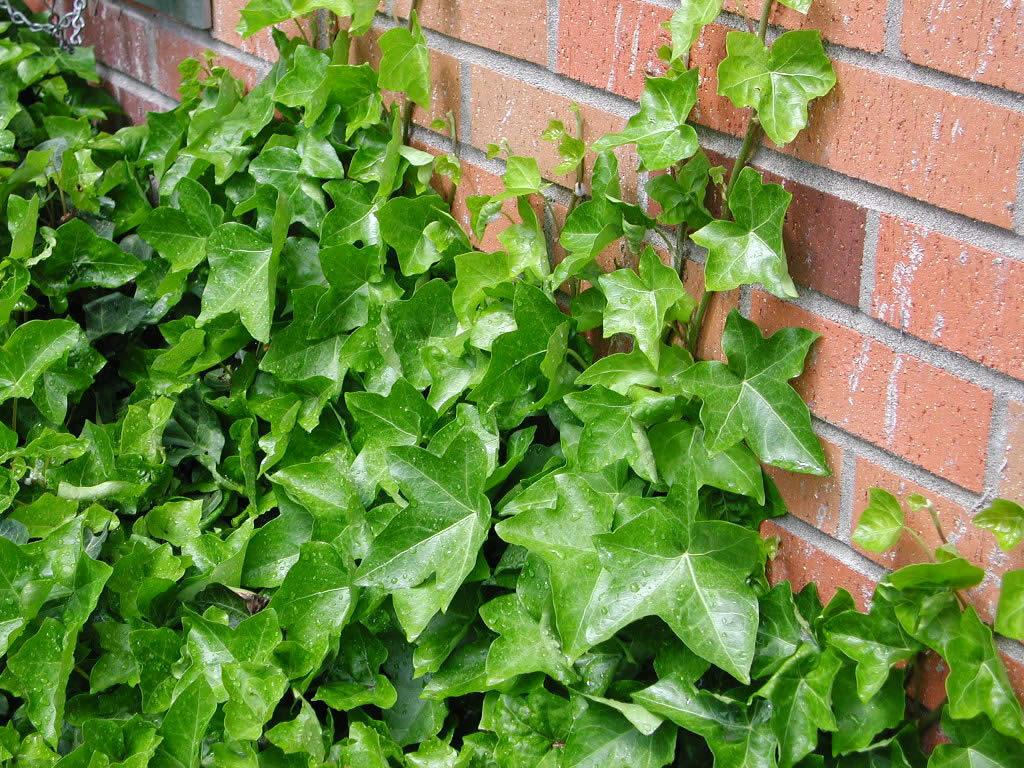 фото плющ вечнозелёный