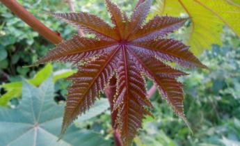 Клещевина обыкновенная — эффектная пальма в вашем саду…