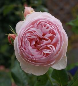 Rose-Renaissance-1_David-Austin