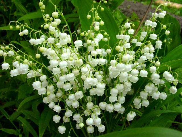 Spring-Flowers-Lily-of-the-Valley.jpg