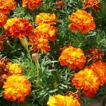 Бархатцы –  самые популярные садовые цветы…