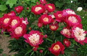 садовые растения фото, описание, смотреть