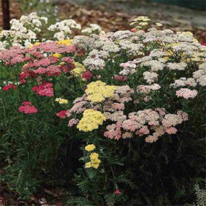 achillea-colorado
