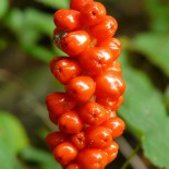 Арум: цветок, который способен производить тепло