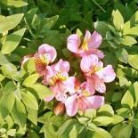 Альстромерия в вашем саду…