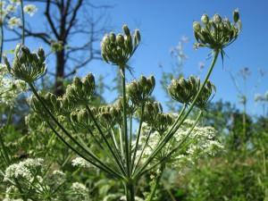 apiaceae-hercaleum-844413_960_720