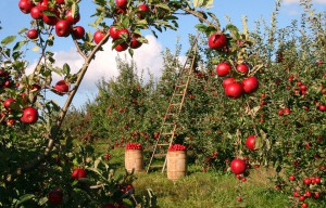 Сбор и хранение урожая фото описание смотреть