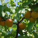 Весенняя посадка плодовых деревьев и кустарников…