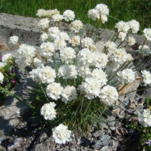 растения для каменистой горки фото, описание, смотреть