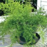Как вырастить аспарагус из семян?