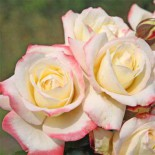 Розы Кордеса: 9 модных новинок сезона…
