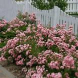 The Fairy Rose: небольшая, сладкая полиантовая кустовая роза