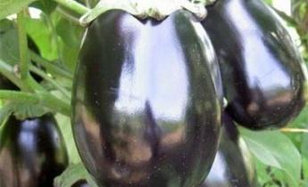Чем примечателен баклажан Черный Красавец?