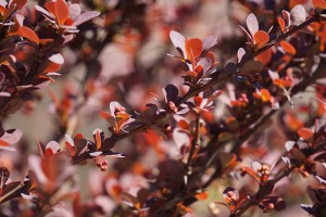 barberry-716777_960_720
