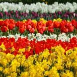 Часто задаваемые вопросы при выращивании  весеннецветущих луковичных  растений…