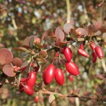 Осенние барбарисы…