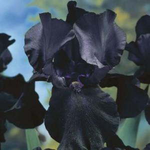 black_dragon_-1
