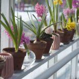 Украсьте зимние подоконники морозниками и гиацинтами