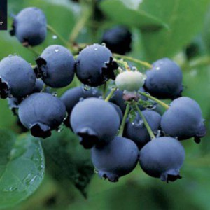 blueberry-duke-1