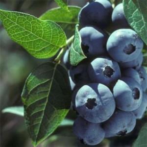 blueberry-elizabeth-1