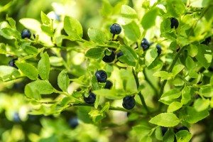 blueberry-forest-1525918_960_720