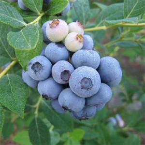 blueberry-laegacy-1