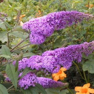 buddleja-border-beauty-4