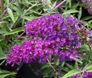 buddleja-nano-purple-2