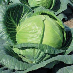 cabbage-tonia
