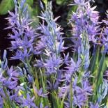 Камассия – экзотическая незнакомка в саду…