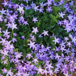 campanula-stella-2