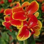 Канны – растения удивительной красоты