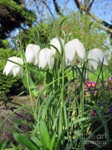 checkered-lily-white-fritillaria-meleagris-white-ausra-paulauskaite