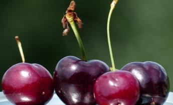Как правильно выбрать сорт вишни?
