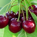 Выбираем саженцы плодовых деревьев…