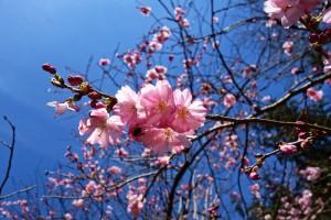 cherry-blossom-3296632_1280