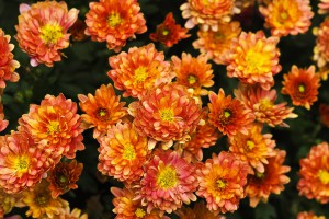 chrysanthemum-1750800_960_720