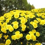 Выращивание хризантемы мелкоцветковой в открытом грунте…