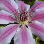 Крупноцветковые клематисы: Все, что вы хотели знать об этих прекрасных лианах…