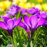 Цветок крокуса: жизнь должна продолжаться…