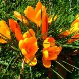 Мелколуковичные растения — неотъемлемая часть весеннего сада…