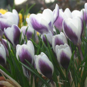 crocus_chrysanthus_princeclaus