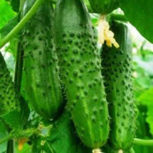 cucumber-algambra-2